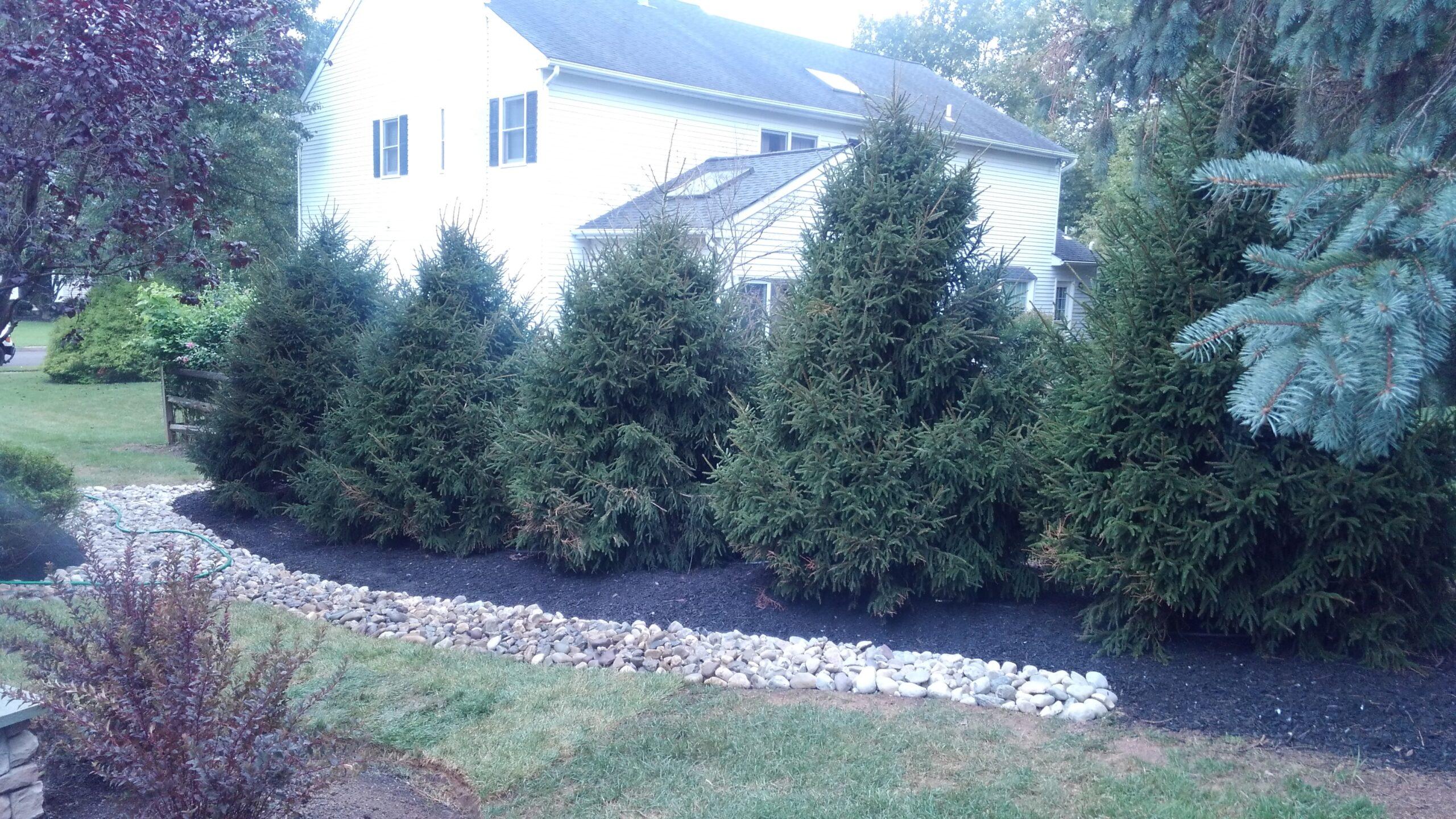 Ornamental Spruce Privacy